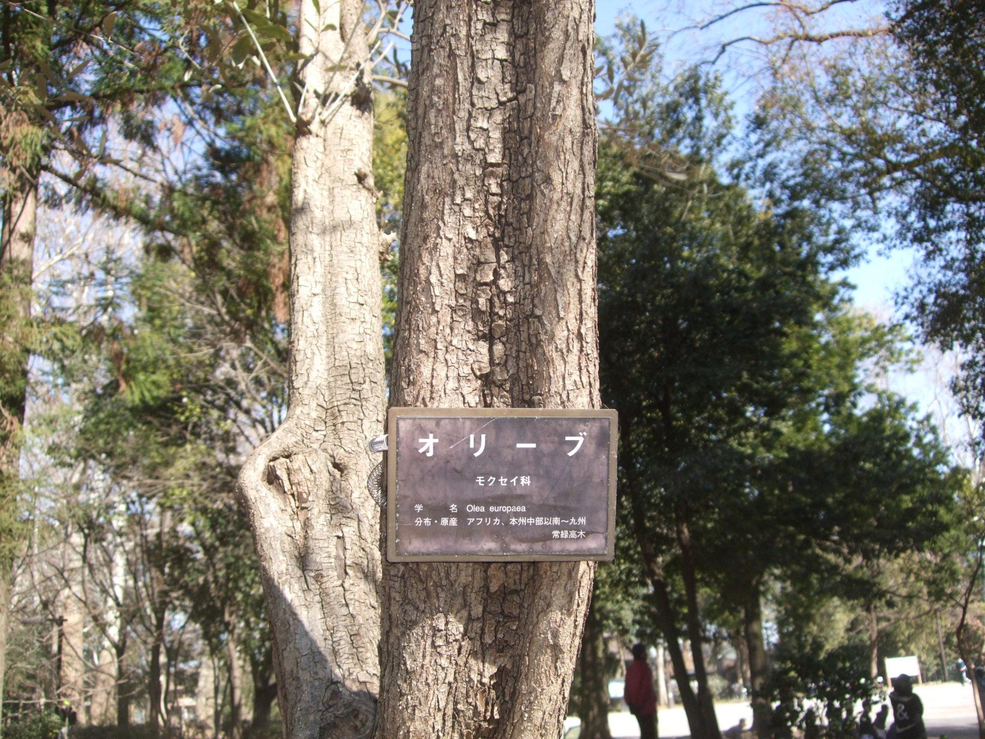 神話の木(林試の森)